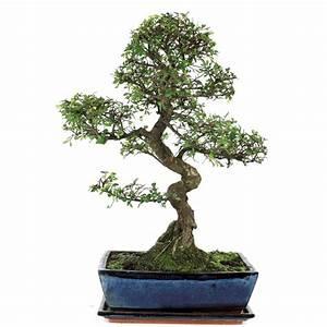 Bonsai Chinesische Ulme : bonsai f r innen chinesische ulmen jetzt kaufen ~ Sanjose-hotels-ca.com Haus und Dekorationen
