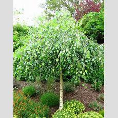 """Weeping Silver Birch 12"""" Pot  Hello Hello Plants & Garden"""