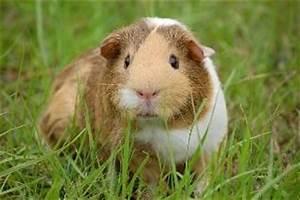 Hund Im Garten Vergraben : ratgeber zu meerschweinchen seite 2 ~ Lizthompson.info Haus und Dekorationen