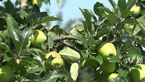 Green Apple Fruits Hanging On Apple Tree Stock Footage ...