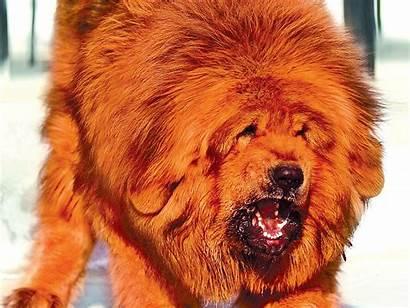 Mastiff Tibetan Dog