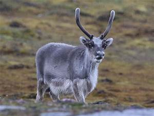 Arctic Animals  A Guide To Key Wildlife Species