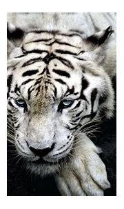 Desktop Tiger 4k Wallpapers - Wallpaper Cave
