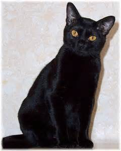 black cat breeds bombay cat this cat breed is medium sized and well