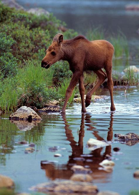 pictures  baby moose