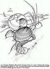 Coloring Shells Seashells Sea Shell Dover Ocean Drawing Publications Printable Sheets Drawings Seashell Adult Doverpublications Adults Von Mandala Line Zantangle sketch template