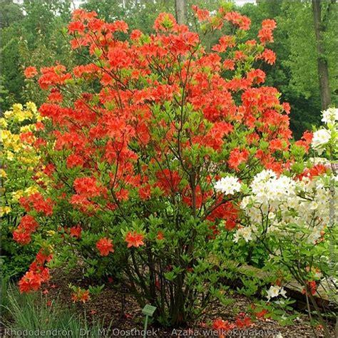 Azalia A plant gallery encyklopedia roś rhododendron dr m