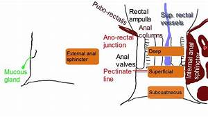 Anal Canal - Simplified Anatomy