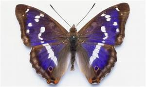 My search for the purple emperor butterfly | Environment ...