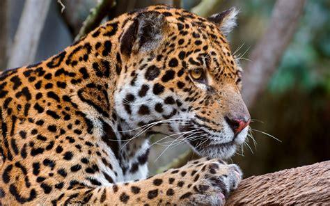 pictures jaguar cat jaguar predator big cat jpg 2559 215 1600 big cats