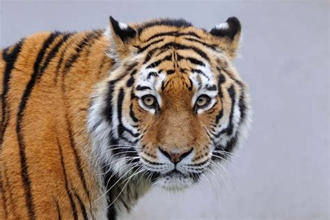 Spectacular Pictures Siberian Tigers Their