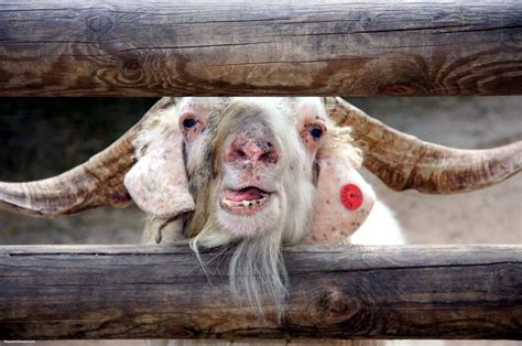 Samosas And Goats On Pinterest