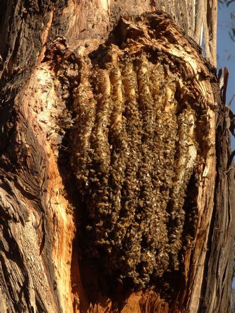 video  open honeycomb beehive    gum tree act