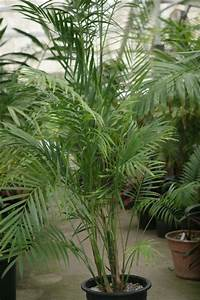 Palmenarten Zimmerpflanzen Wirken Sehr Schn