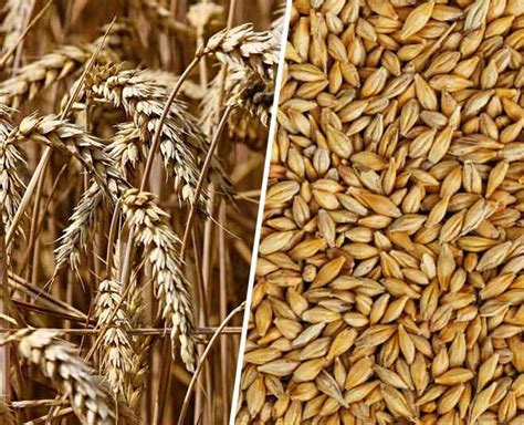 High Quality Barley And Wheat Seeds Gimpex International