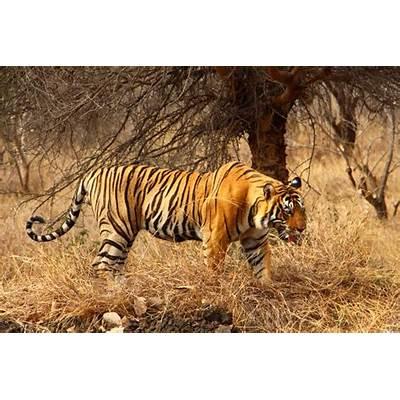 Planning a tiger safari at Ranthambore National Park India