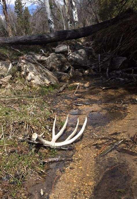 Moose Shed Antler Forums by 2016 Shed Antler Contest Winners Monstermuleys