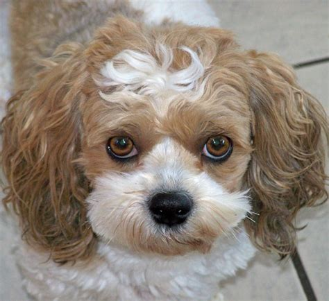 Do Bichon Yorkies Shed by Yo Chon Breed Information And Pictures On Puppyfinder