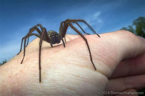 house spider oregon immense spiders that can human skin with their