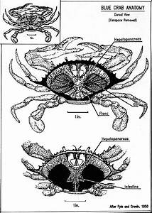 A  Blue Crab Anatomy