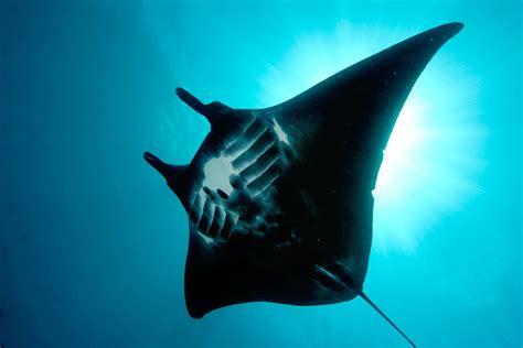 manta ray wallpaper  background image  id
