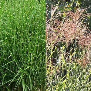 Miscanthus Sinensis Strictus : cortaderia selloana gold band ~ Michelbontemps.com Haus und Dekorationen