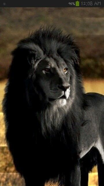 black lion animal kingdom animals beautiful lion animals
