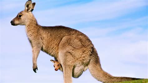 Kangaroos Joey Animals Baby Animals Wallpapers Hd