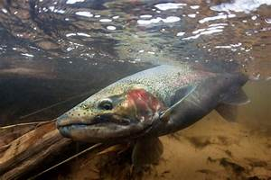 Spring Steelhead   Indicator Fishing   Rigging and Techniques