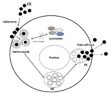 Diagram Of Chlamydium by Cycle To Chlamydia Pneumoniae Scientific