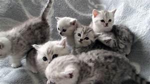 Bilder Zum Kaufen : reinrassige britisch kurzhaar katzenbabys babykatzen vom z chter ~ Yasmunasinghe.com Haus und Dekorationen