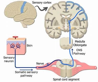 Somatic Pathway Nervous System Pain Brain Nerve