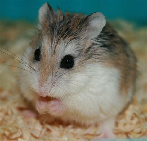 roborovski hamster robo hamsters hollywood hates me