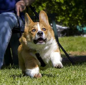 Scared Corgi running away : photoshopbattles
