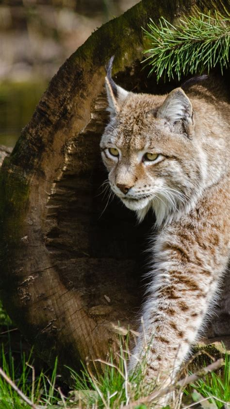 dangerous animals wild cats lynx wallpapers hd 4k worlds animal wallpapershome
