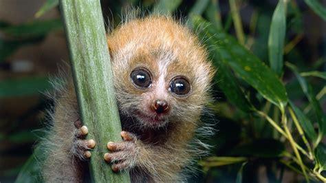 Rare pygmy slow loris caught stealing bananas in SW China ...