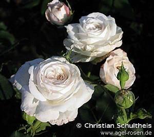 Boule De Rose : boule de neige bourbon rose buy at agel rosen ~ Teatrodelosmanantiales.com Idées de Décoration