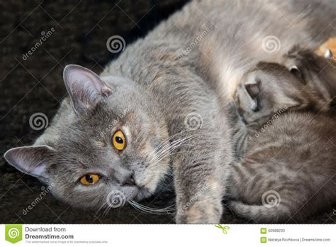 Mother Cat Feed Newborn Kittens Stock Photo Image 60988233