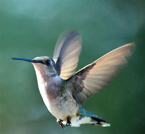hummingbird flowers feeders n photos