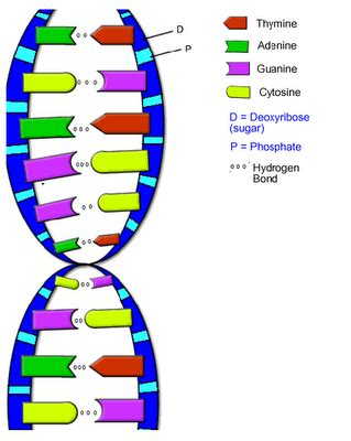 What Does Atgc Stand For In Dna by Biology Today And Tommorow Molecular Biology