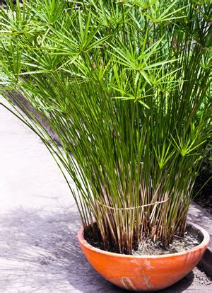 papyrus pflanze pflege papyrus pflanze cyperus papyrus pflege anleitung