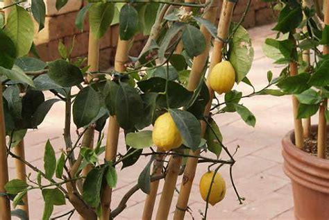 bien faire passer l hiver 224 un citronnier en pot