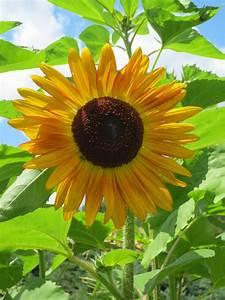 Kids Garden Backyard Sunflower