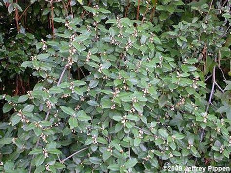 O Oleagno – Elaeagnus Pungens | Flores - Cultura Mix ...