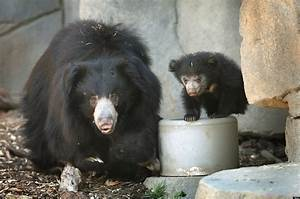 Sloth Bear Attack