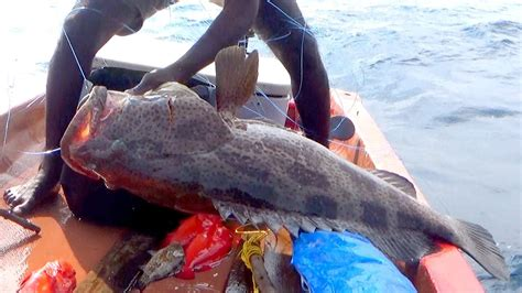 grouper goliath monster groupers caught ever