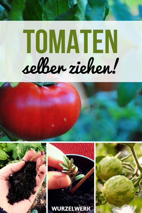 tomaten in der wohnung züchten kr 228 ftige tomaten selber ziehen und pikieren gem 252 se anbauen garten bepflanzen gem 252 segarten