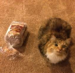 Cat That Looks Like a Loaf of Bread