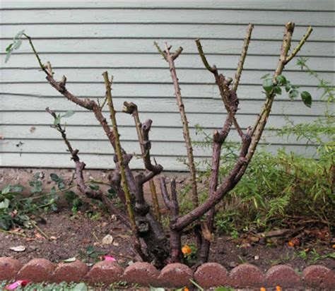 pruning climbing roses winter the engaged observer pruning roses in the rain