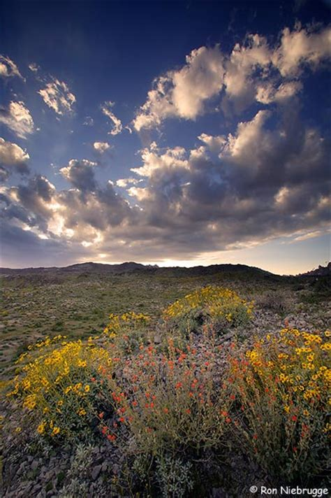 mojave desert wildflower pictures